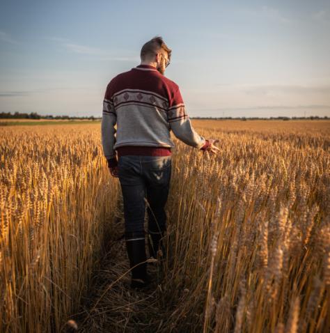 Kuvassa mies kävelee pellon poikki ja tarkastelee viljaa. Miehellä pohjalaisneule, farkut ja kumisaappaat.